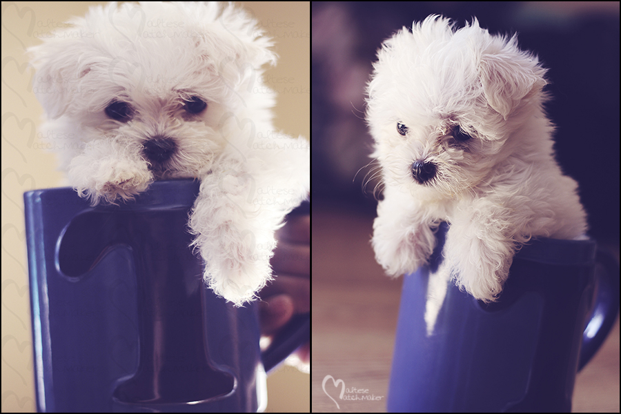 teacup maltese baby mm