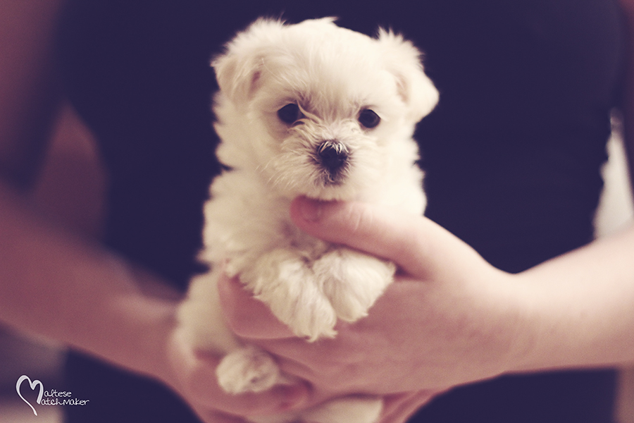 cute little maltese female mm