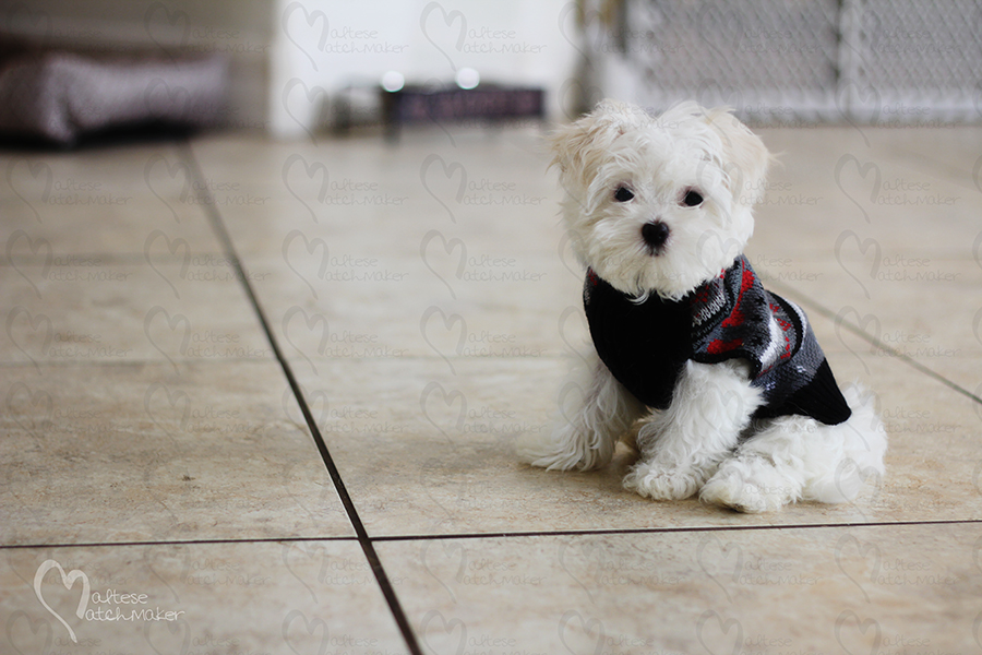 teacup maltese puppy sitting down
