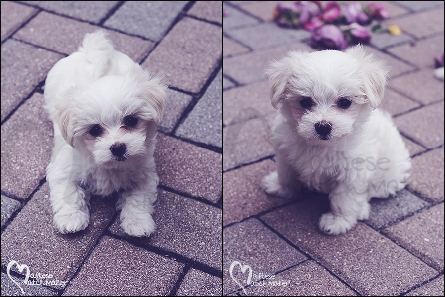 Maltese puppy pavers collage