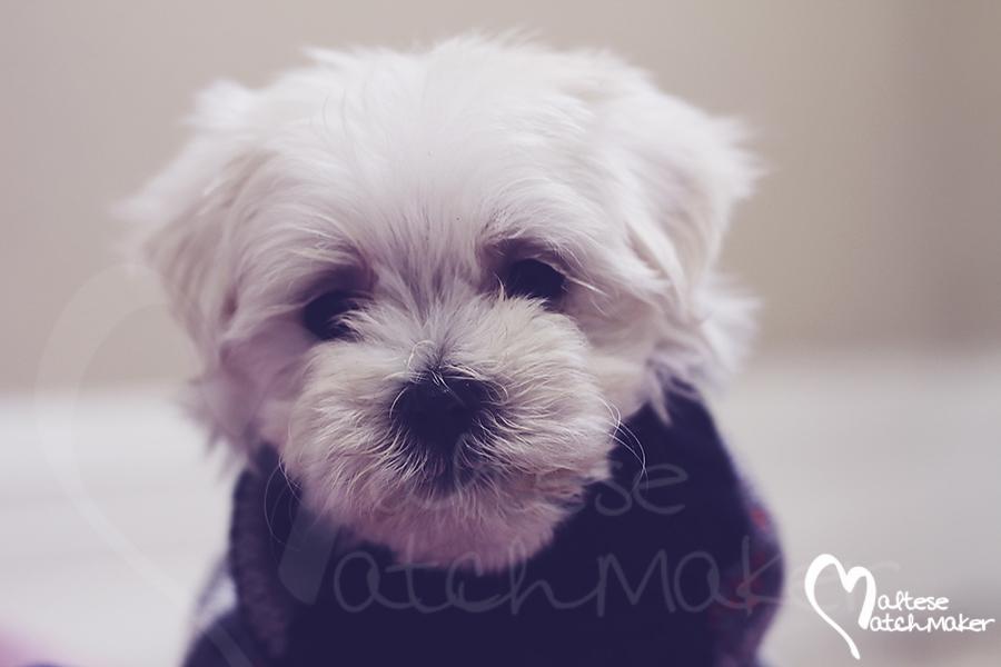 Maltese puppy sweater maltesematchmaker