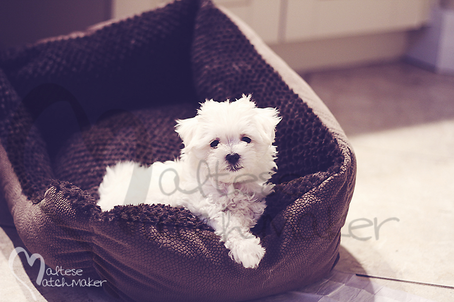 female maltese baby in brown plush bed Maltesematchmaker