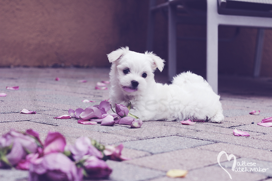 maltese puppy rose petal in mouth pastel