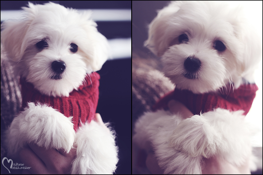 maltese female puppy blog board