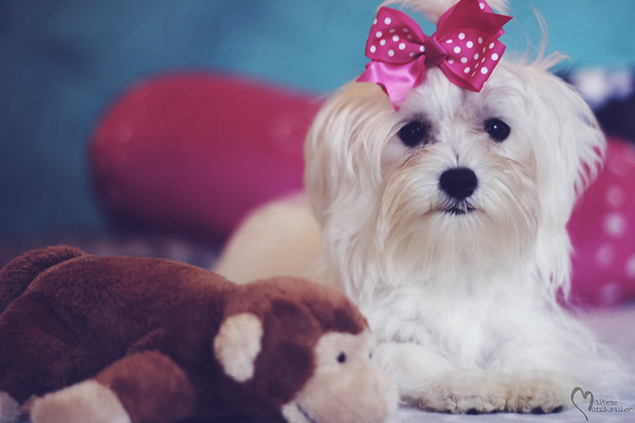 beautiful-maltese-with-monkey-toy