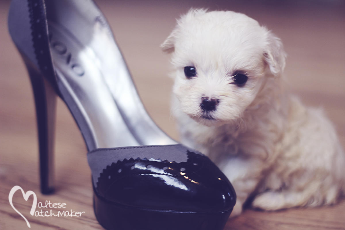 male teacup puppy highheel
