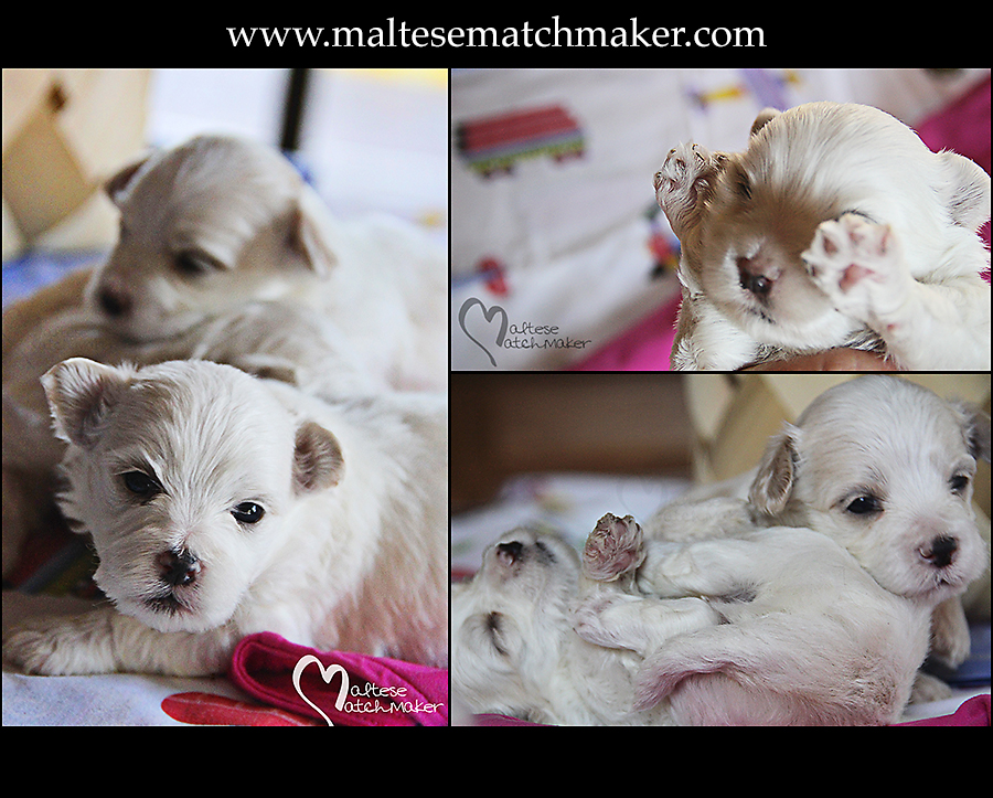 Maltese puppies October 2014 board