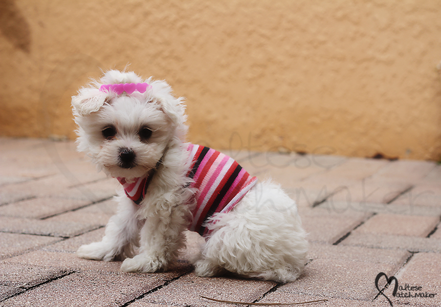 maltese female pink cutie maltese matchmaker