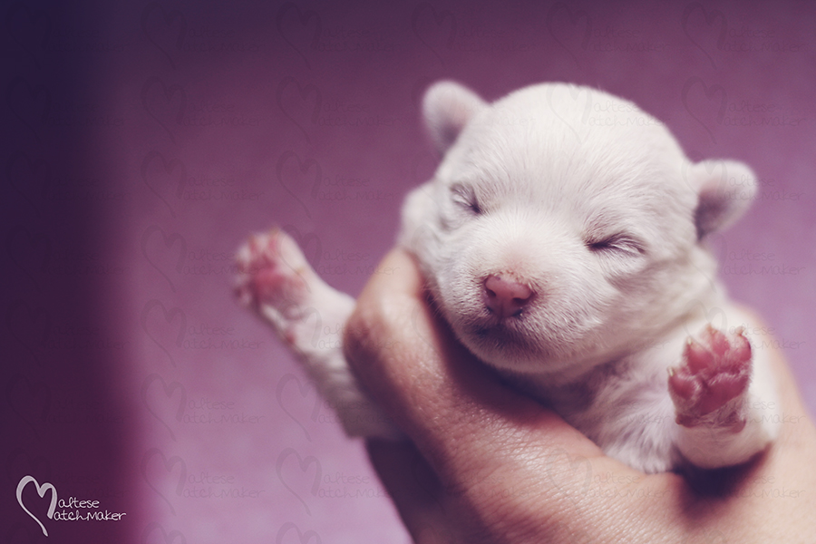 newborn one week old puppy headshot