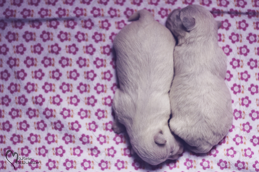 newborn puppies one week old