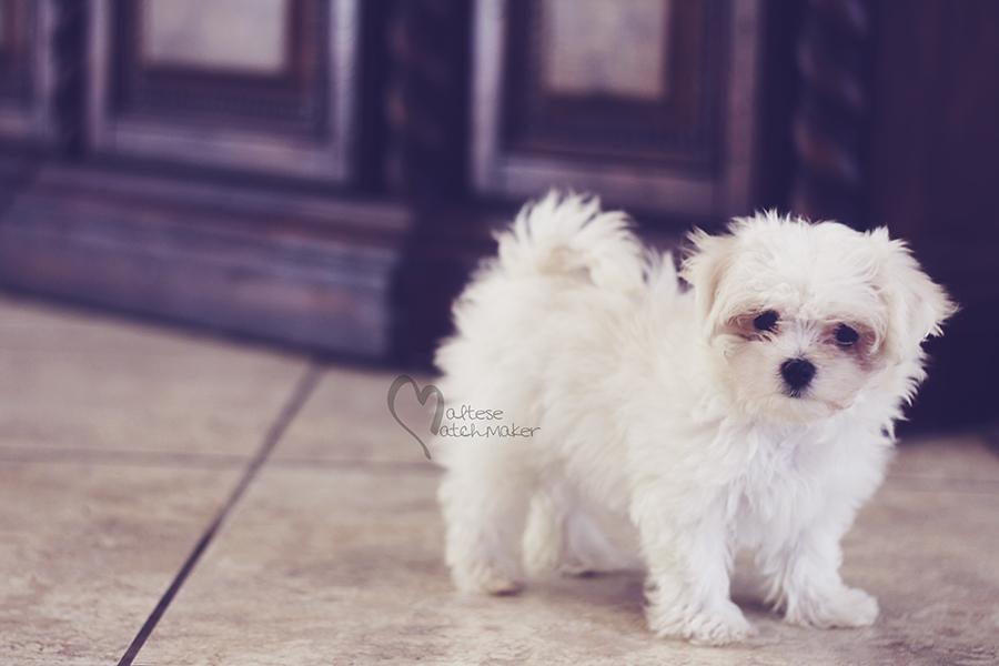 maltese matchmaker puppy