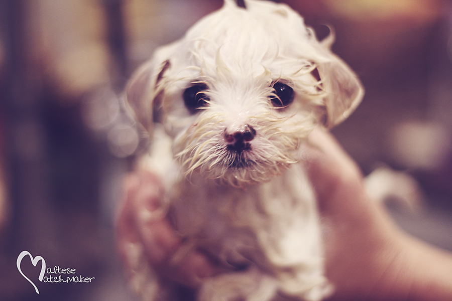 maltese puppy bath
