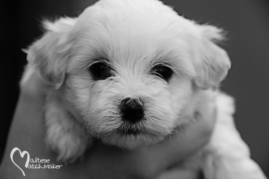 Maltese matchmaker Puppy male