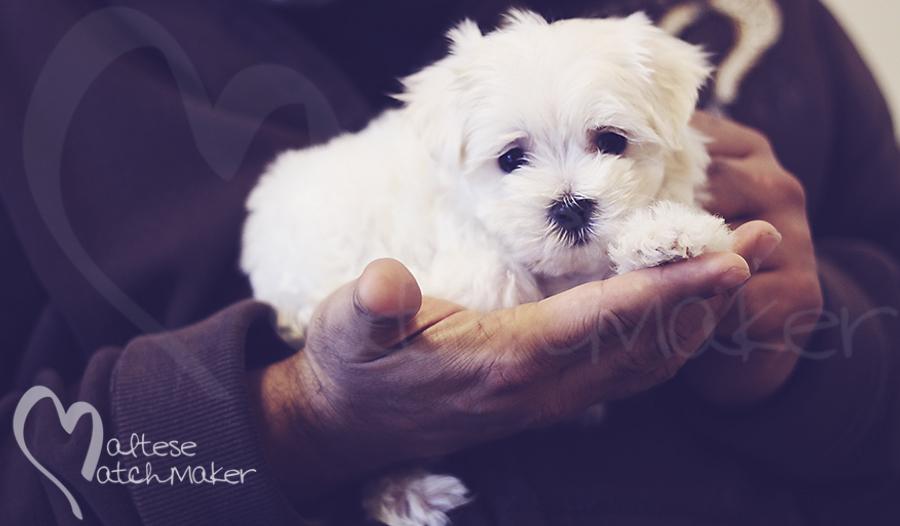 maltese puppy hand 2 maltesematchmaker