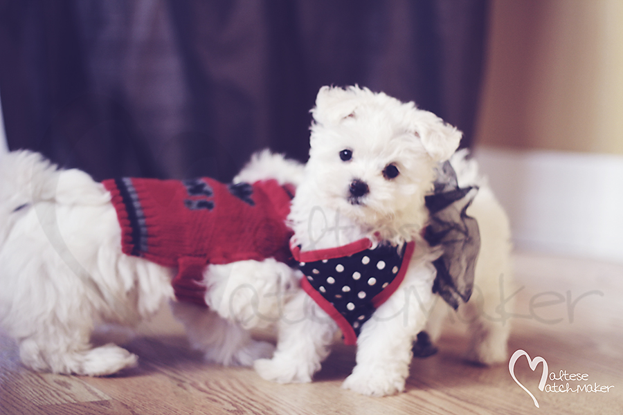 Lola Maltese cute female puppy