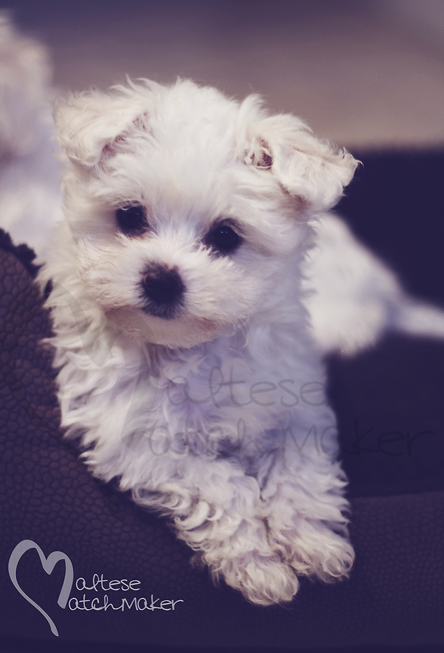 Tiny Maltese puppy vertical