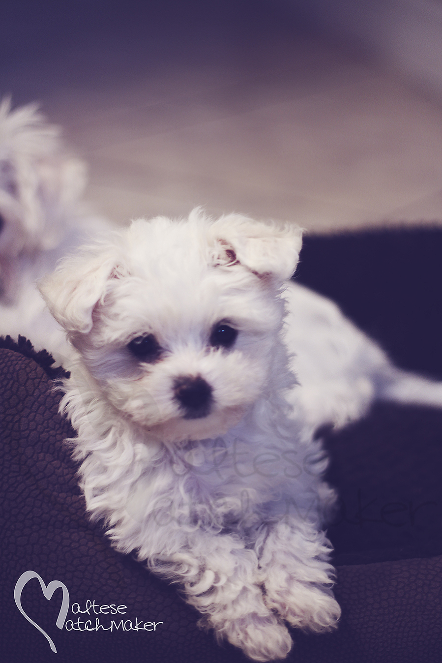 Tiny little Maltese Puppy resting vertical