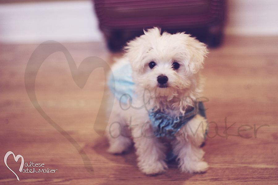 maltese puppy in dress on wood floor