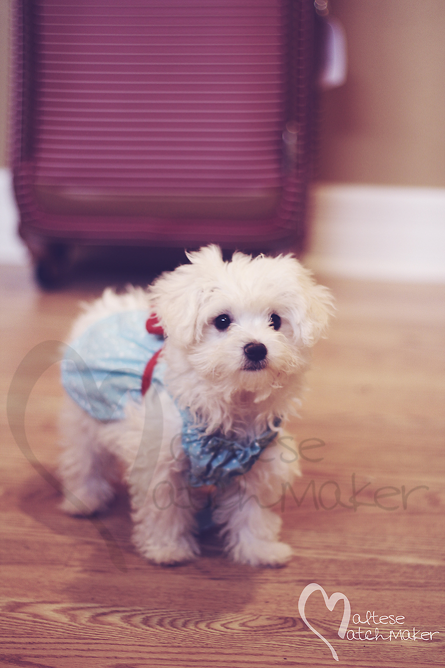 maltese puppy in dress on wood floor vertical