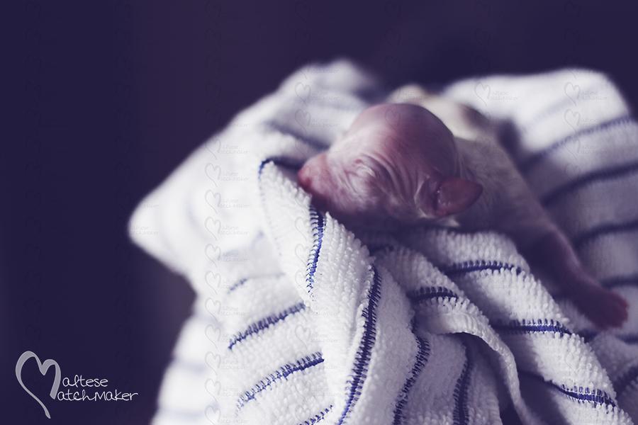 newborn maltese puppy just born
