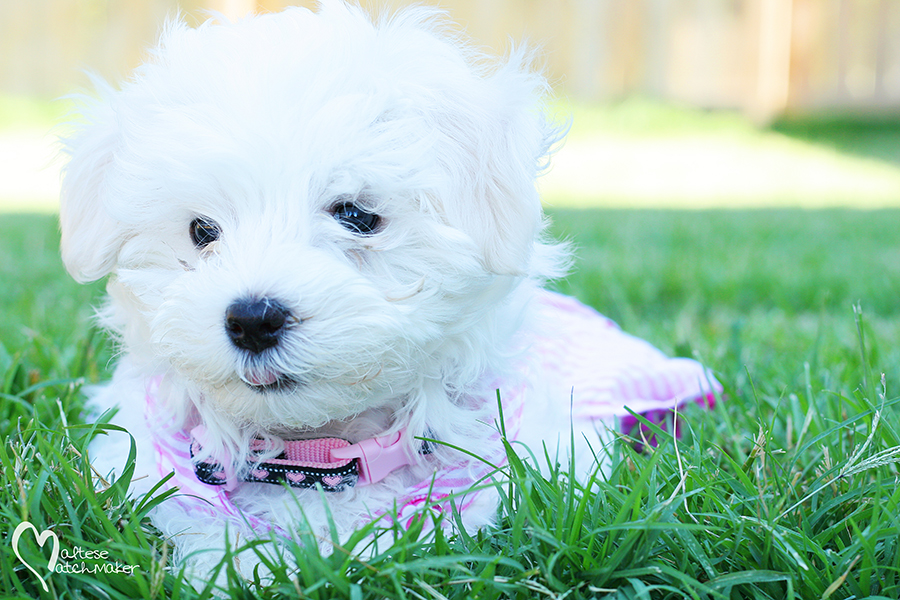 Maltese puppy baby mm