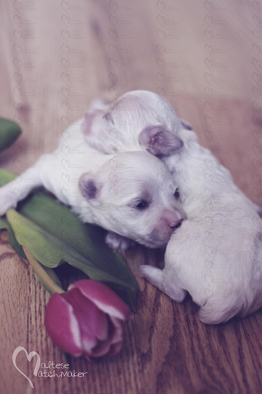 newborn maltese puppies tulip vertical