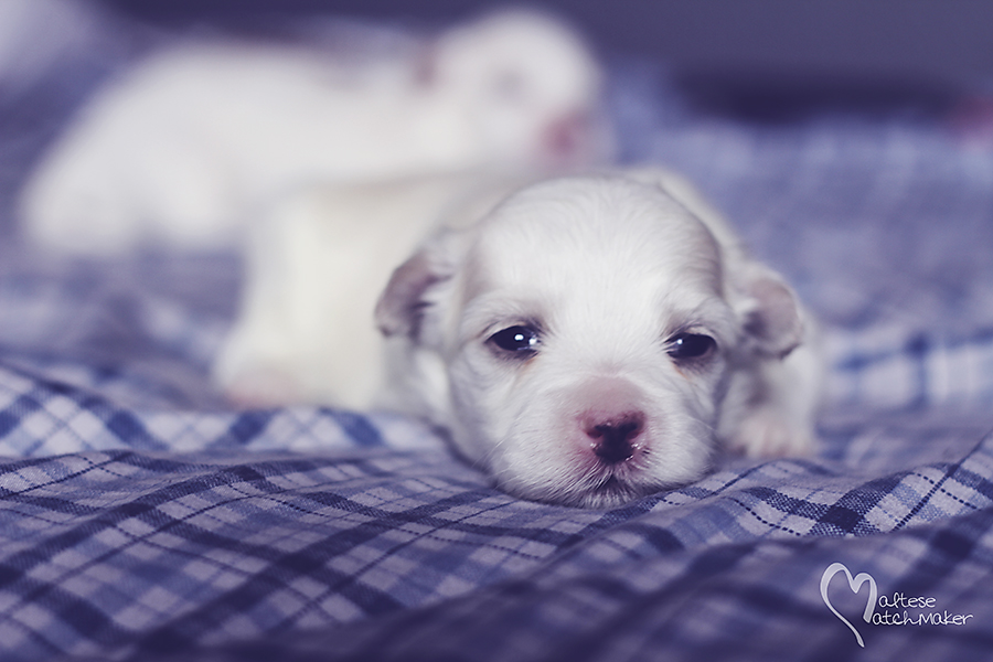 maltese puppy male on blue rs