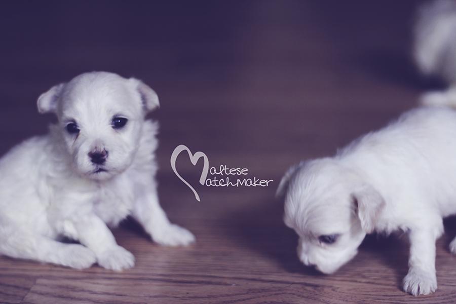 maltese little boy priscilla puppy 2
