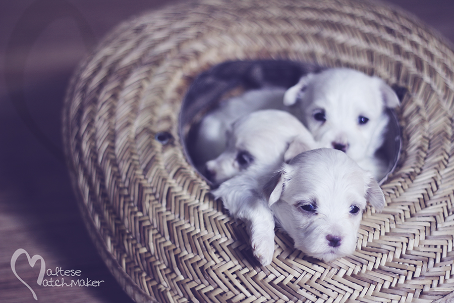 maltese puppy pile in a hat
