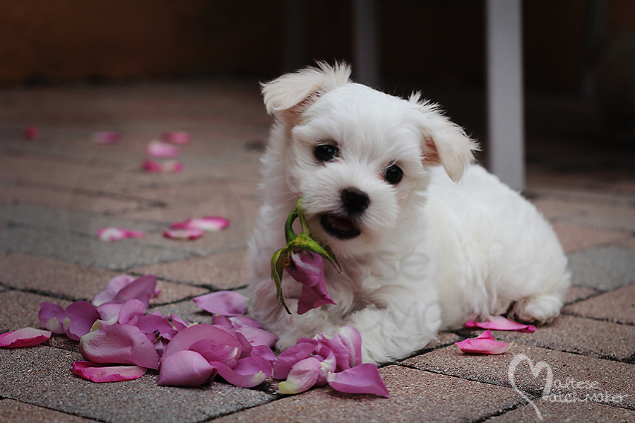 maltese puppy rose petals pastel mm