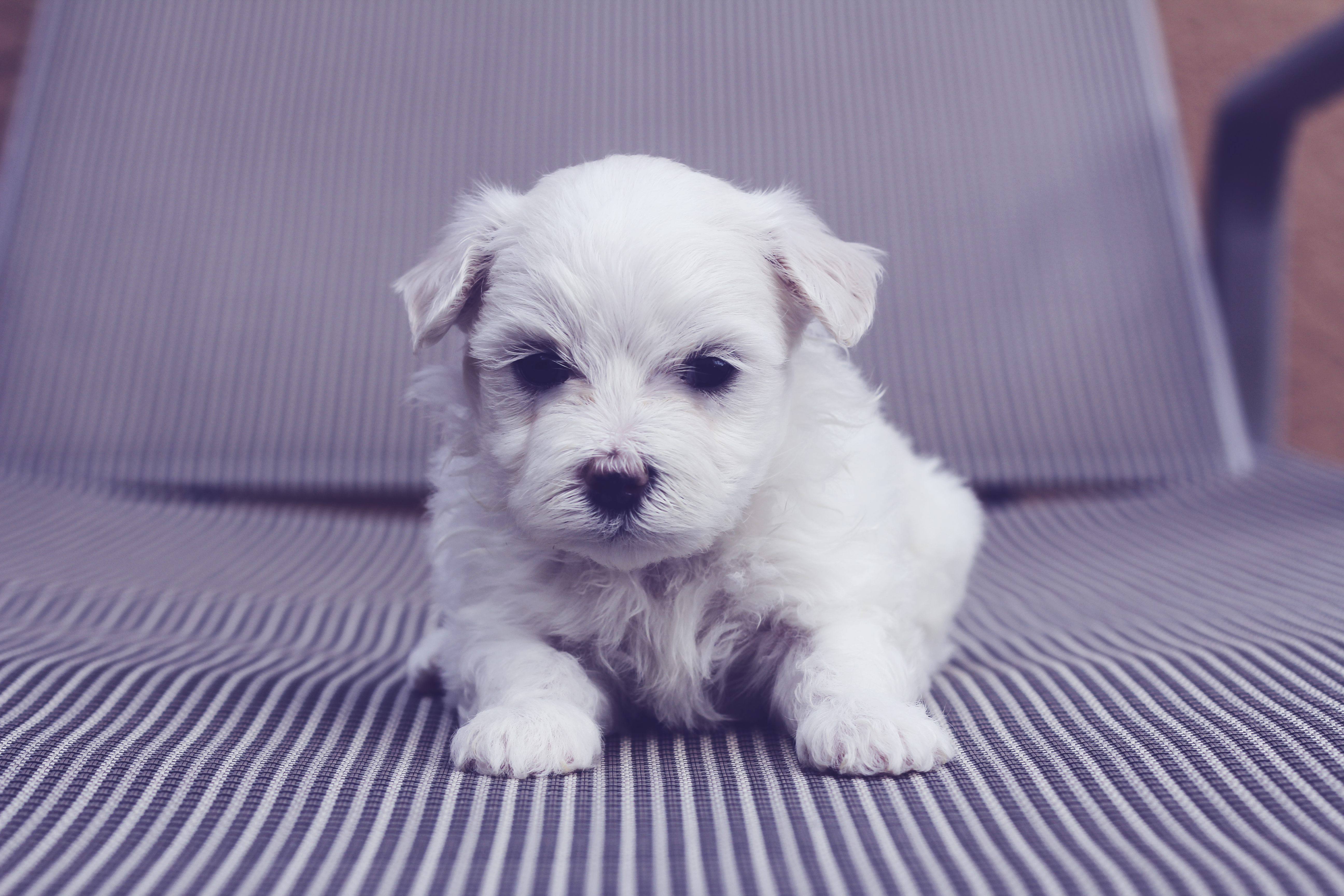 maltese puppy on striped chair