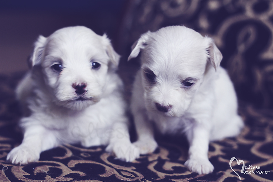 maltese female puppies sisters