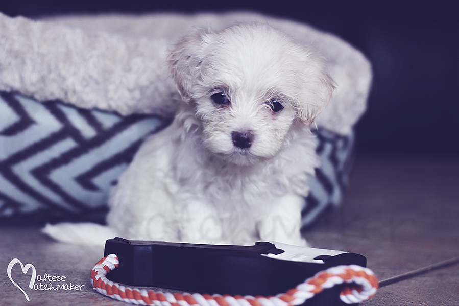 Maltese puppy little miss MM