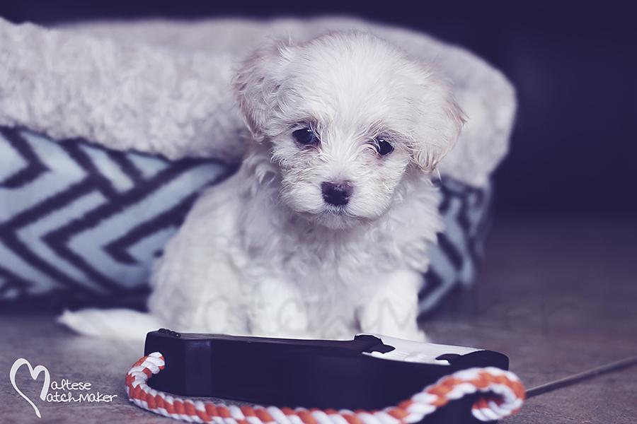 Maltese puppy little miss MM