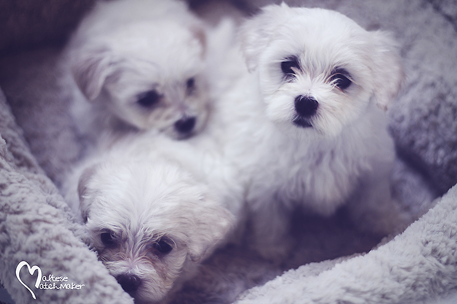 maltese puppies bed maltesematchmaker