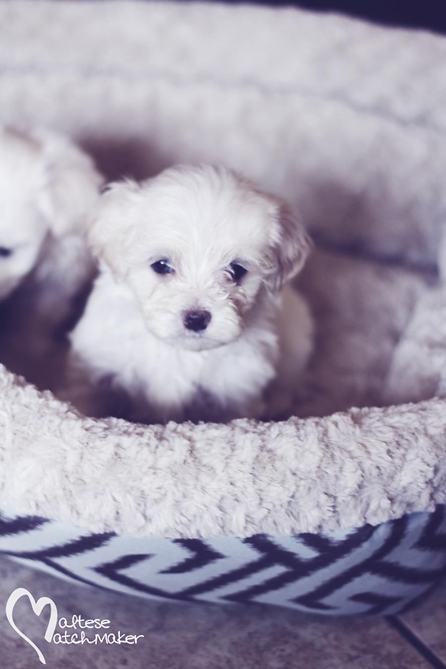 maltese puppy little miss vertical