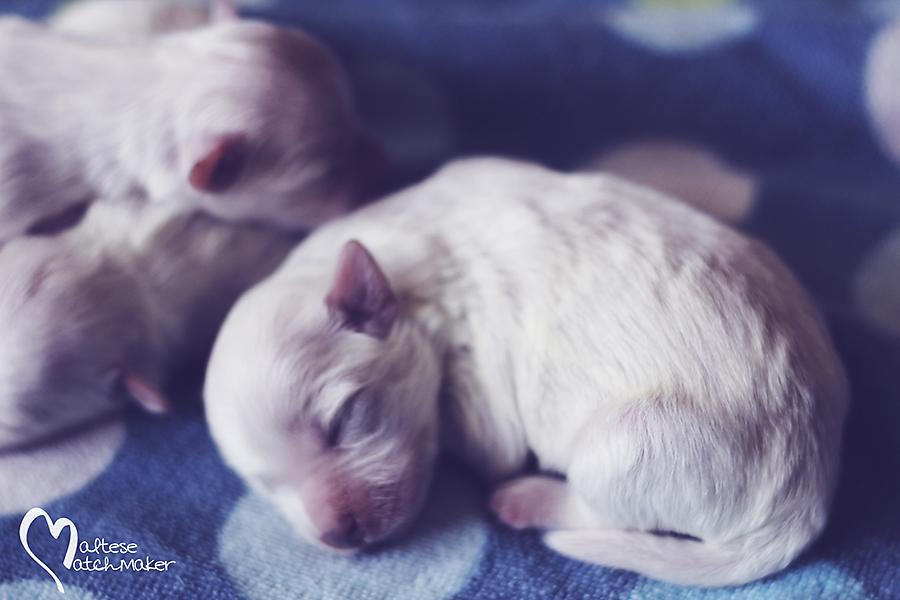 Jenny Cash Male Puppy
