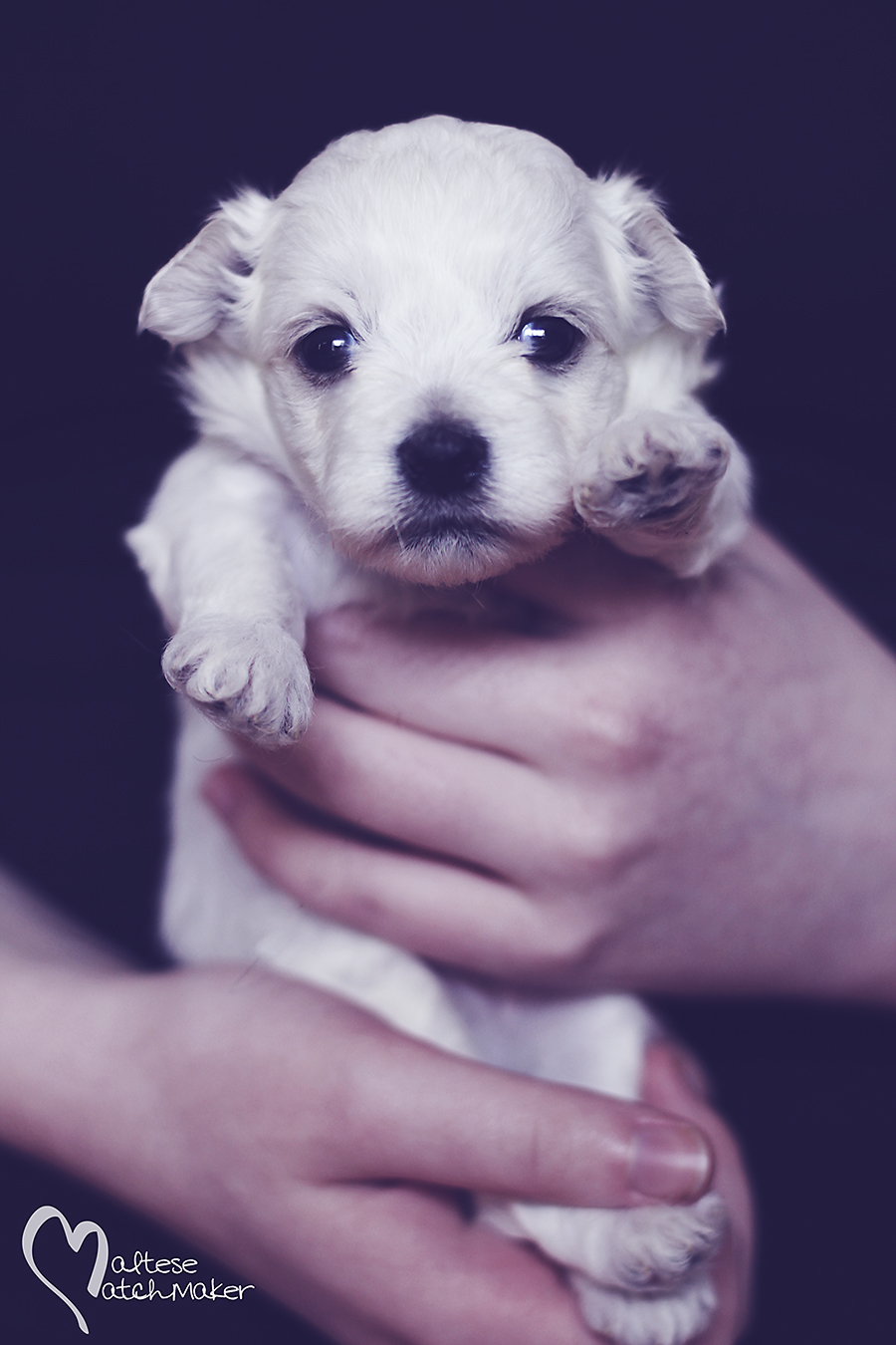 Lisa Marie puppy on black vertical