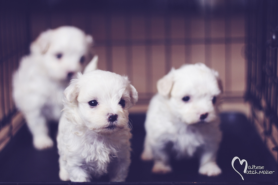 Jenny Cash puppies in crate