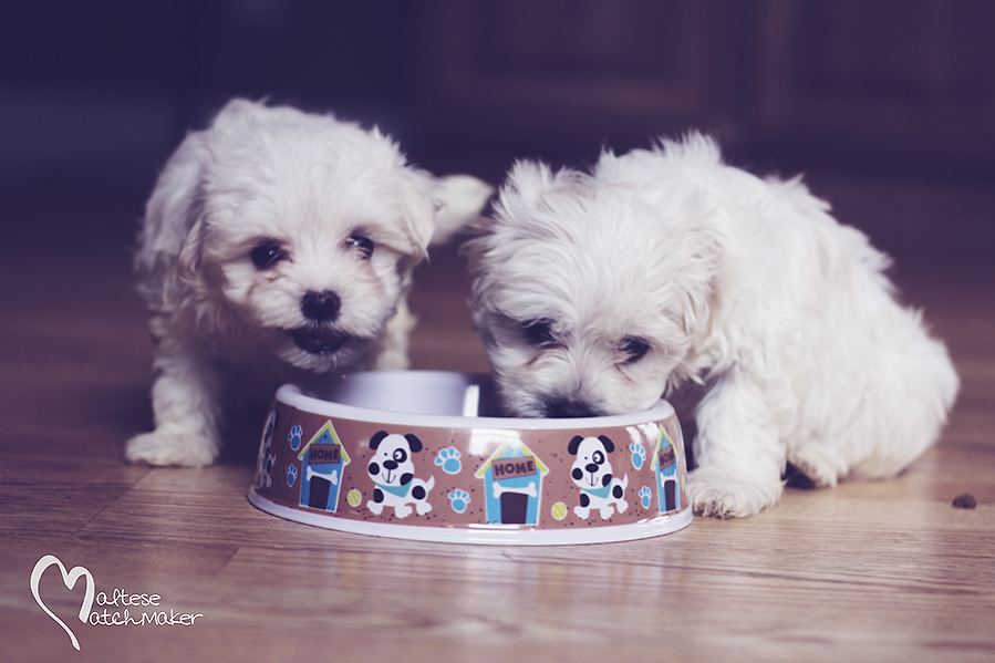 Maltese Matchmaker puppies eating