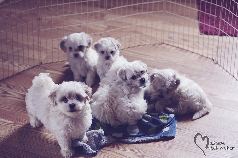 group of maltese puppies born in July