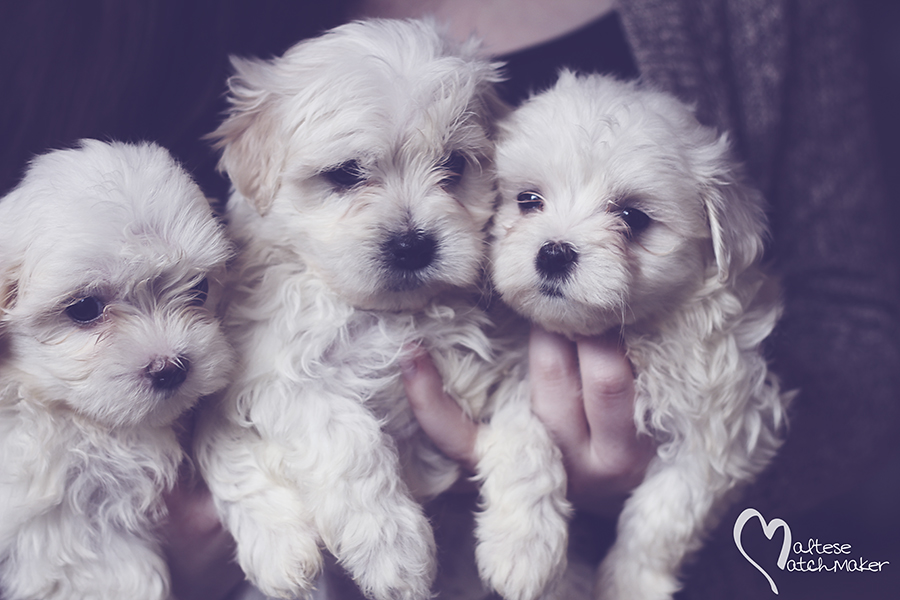 maltese puppy group 1