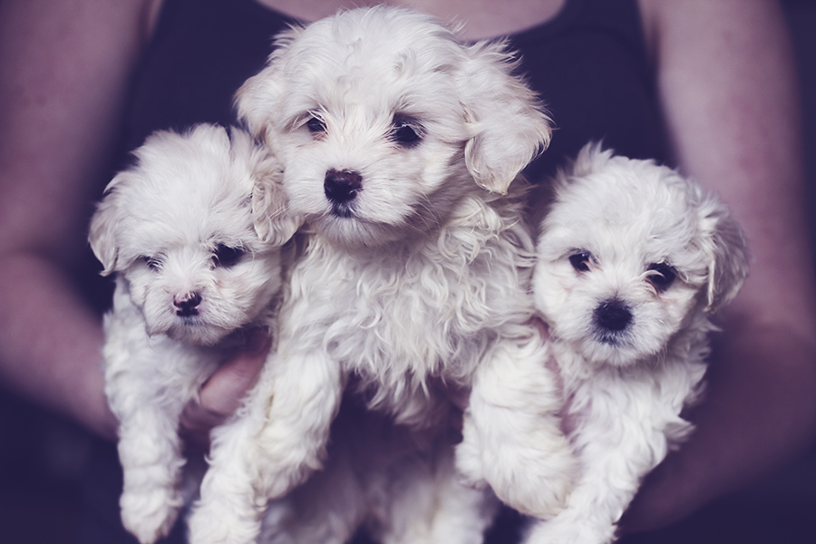 maltese puppy group 2