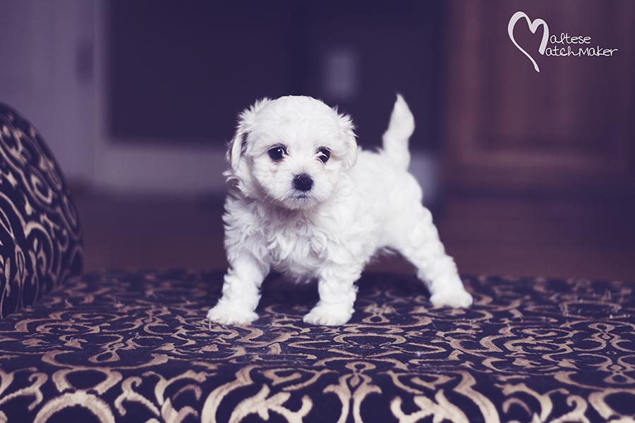 maltese puppy daisy 2