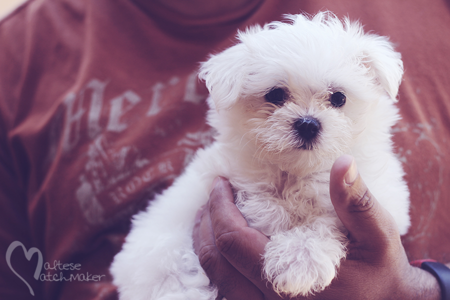 maltese puppy female teacup MM