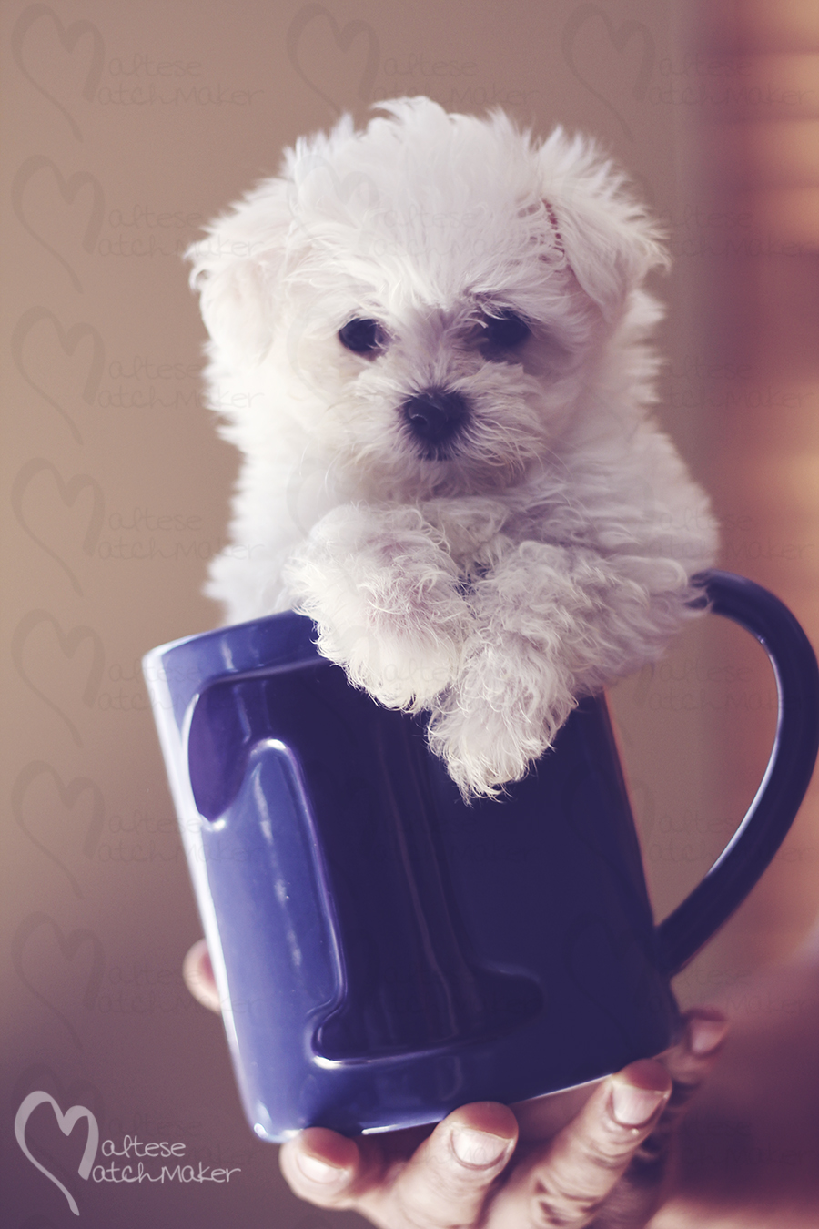 teacup maltese puppy Tcup MM
