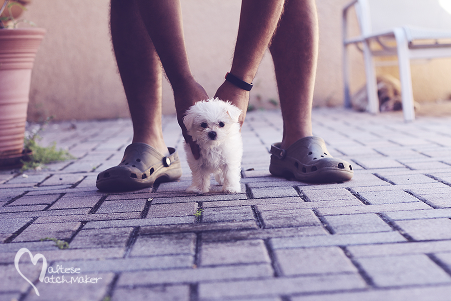 tiny maltese puppy on pavers MM
