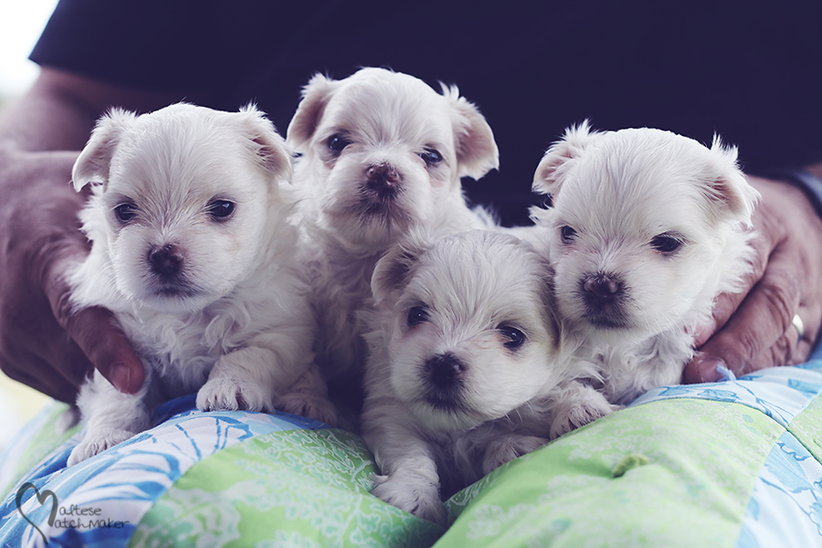 maltese male puppies october litter