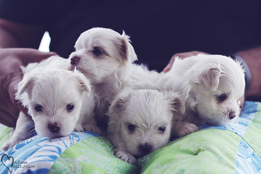 maltese male pups october litter 2