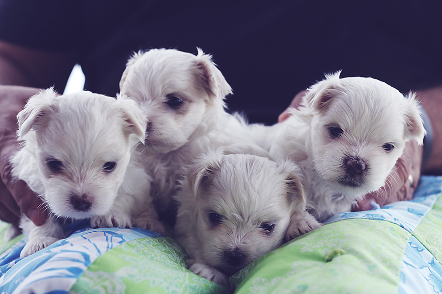 maltese male pups october litter